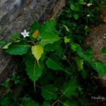 菩提樹っぽい植物と花。