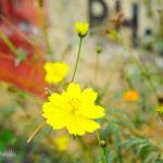 アシュラムの近くの湖畔に咲いてた花。