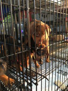 タイラオス国境  子犬